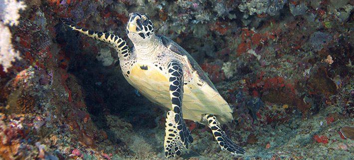 Maldives Sea Turtles